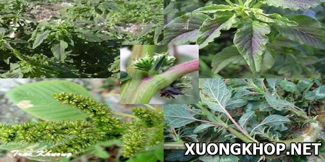 Bất ngờ với công dụng trị bệnh thấp khớp của cây rau dền gai