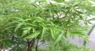 Đinh lăng – cây thuốc quý chữa bệnh đau xương khớp của người già