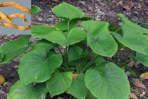 Chữa gai cột sống hiệu quả bằng hai loại cây thảo dược