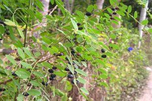 Khám phá bài thuốc chữa bệnh gai đốt sống lưng từ cây mực