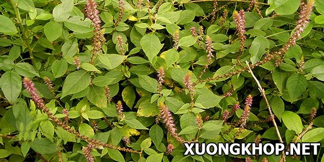 Thuốc nam trị vôi hóa cột sống từ 3 loại cây cỏ quen thuộc