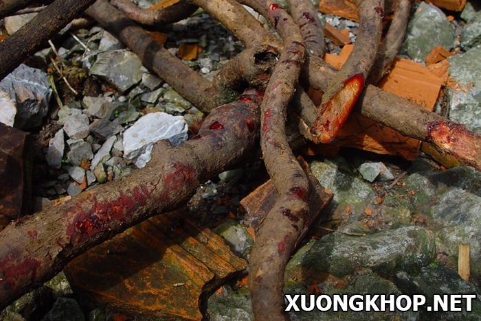 3 bài thuốc chữa bệnh gai cột sống từ cây kê huyết đằng 1