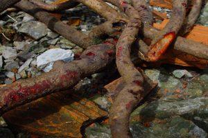 3 bài thuốc chữa bệnh gai cột sống từ cây kê huyết đằng