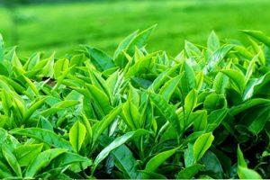 Bài thuốc chữa bệnh gout đơn giản từ lá chè xanh đơn giản mà hiệu nghiệm