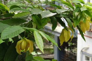 Chữa bệnh phong tê thấp đơn giản từ cây hoa dẻ của Hải Thượng Lãn Ông
