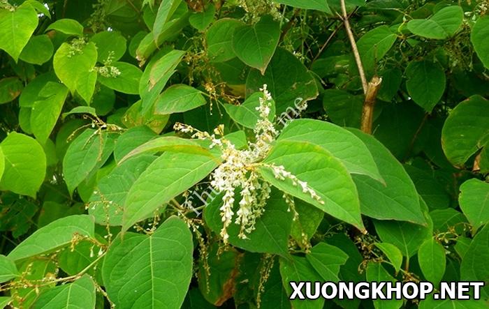 Đặc điểm và công dụng điều trị bệnh phong thấp của cây cốt khí 1