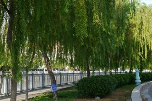 Điều trị bệnh đau lưng nhờ những loại cây trong vườn nhà