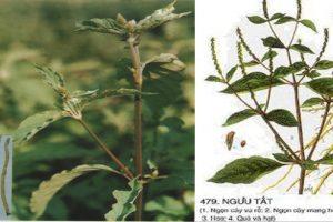 Tìm hiểu cây ngưu tất, vị thuốc trong điều trị bệnh viêm khớp