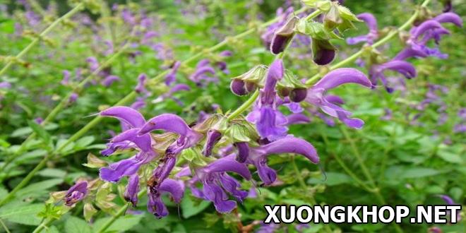 Cây đan sâm, loại thảo dược quan trọng trong bài thuốc chữa phong thấp