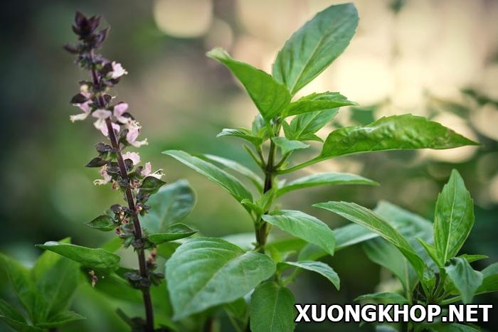 Đặc điểm và công dụng chữa bệnh viêm khớp của cây rau húng quế 1