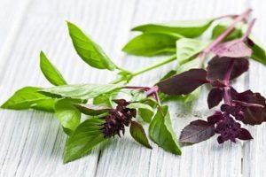 Đặc điểm và công dụng chữa bệnh viêm khớp của cây rau húng quế