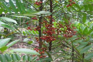 Thoát khỏi bệnh thoái hóa cột sống nhờ cây mật nhân